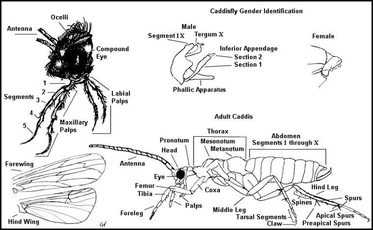 Upper Delaware River Insects Caddisfly Identification